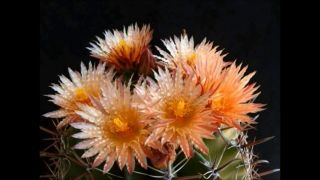 Cactus& Succulent Flowers